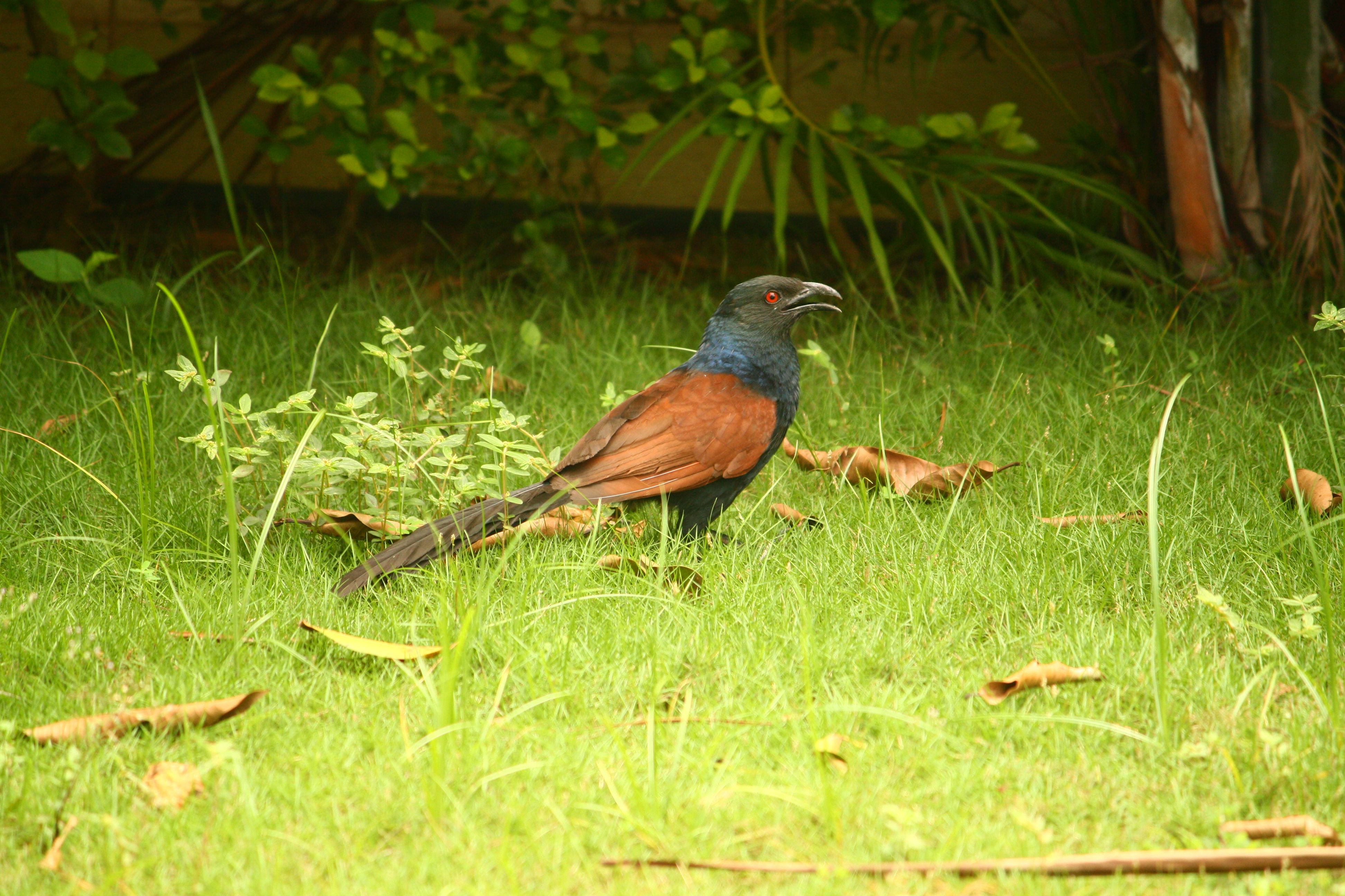 goa birds Goa contains just about everything: ocean, estuaries, wetlands, woodlands and  the ghats as a result the number of birds which can be seen is over 400 plus.